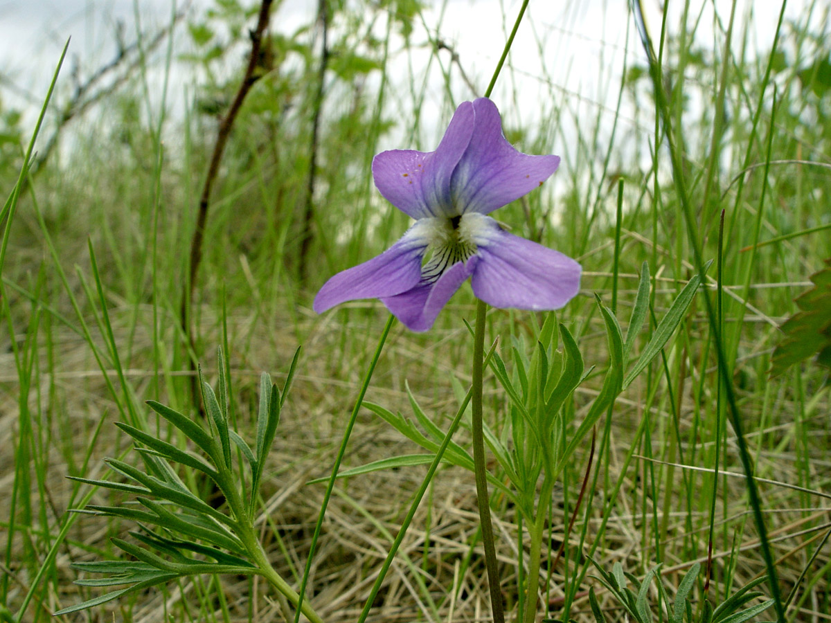 Crowfoot Violet (Viola pedatifida)